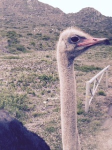 OSTRICH, UP CLOSE AND TOO PERSONAL ON THE CAPE OF GOOD HOPE