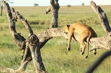 A Hard Working Lioness like Kat on the Serengeti